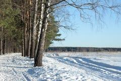 Abedul en un bosque de la primavera Fotos de archivo libres de regalías