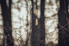 Abedul en un bosque en invierno imagen de archivo