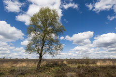 Abedul en un campo del brezo Imagenes de archivo