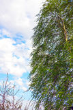 Abedul en un cielo nublado del fondo Foto de archivo