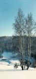 Abedul en un fondo de un bosque en invierno Fotos de archivo libres de regalías