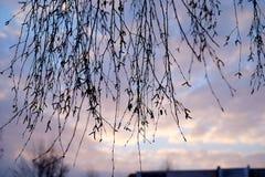 Abedul en un fondo de una puesta del sol Fotos de archivo
