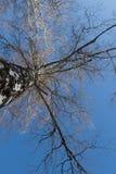 Abedul en un fondo del cielo azul Fotos de archivo libres de regalías