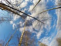 Abedul en un fondo del cielo azul en la primavera temprana, ramas sin las hojas Fotos de archivo