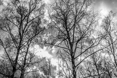Abedul en un fondo del cielo nublado Fotos de archivo