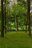 Abedul en un parque de la tarde Fotos de archivo