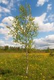 Abedul en un prado de la primavera Fotos de archivo libres de regalías