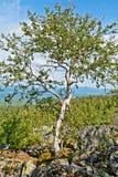 Abedul en un top de la montaña Imágenes de archivo libres de regalías