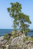 Abedul en una cuesta rocosa Foto de archivo libre de regalías
