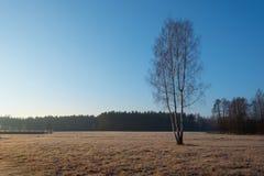 Abedul en una mañana escarchada del otoño Fotos de archivo libres de regalías