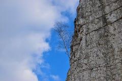 Abedul en una roca Fotos de archivo libres de regalías