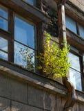 Abedul en una ventana Fotografía de archivo
