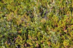 Abedul enano Betula Nana L y el crowberry negro crece en la tundra Fotografía de archivo libre de regalías