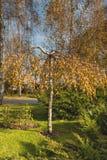 Abedul enano en parque del otoño Fotografía de archivo libre de regalías