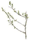 Abedul enano, ramita de Betula Nana con las hojas aisladas en el fondo blanco Fotos de archivo libres de regalías