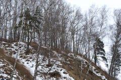 Abedul encima de una montaña en un día de primavera Fotografía de archivo libre de regalías