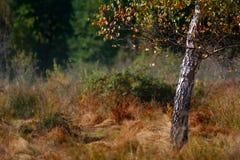 Abedul entre la hierba Imagen de archivo