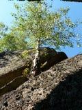 Abedul entre rocas Imagen de archivo