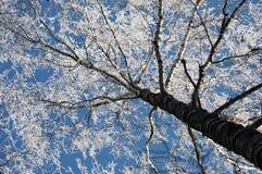 Abedul, escarcha y el cielo azul Imagen de archivo