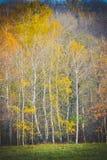 Abedul fino con las hojas amarillas Imagen de archivo