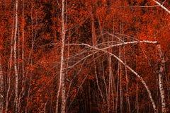 Abedul fino joven con follaje brillante en otoño Fotografía de archivo