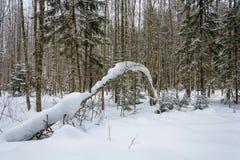 Abedul fino largo cubierto con nieve Foto de archivo libre de regalías