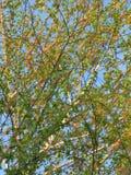 Abedul floreciente Foto de archivo libre de regalías