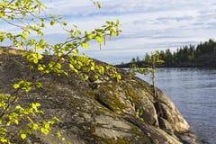Abedul floreciente en el fondo de rocas costeras Imágenes de archivo libres de regalías