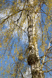 Abedul floreciente verrugoso y x28; Betula Pendula y x29; Foto de archivo libre de regalías