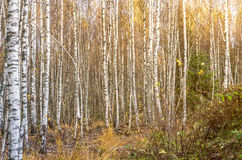 Abedul Forest Sunny Day Imagen de archivo libre de regalías