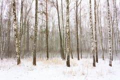 Abedul Forest In Winter Fotografía de archivo libre de regalías