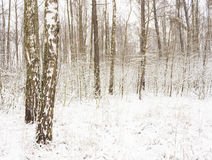 Abedul Forest In Winter Fotos de archivo