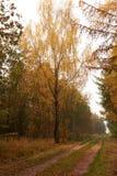 Abedul grande al lado del camino en el bosque en la caída Fotos de archivo