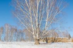 Abedul grande en el invierno Abedul en el invierno Madera siberiana en el invierno Fotos de archivo