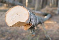 Abedul grande recientemente aserrado para la producción de madera en la opinión del primer del bosque de los anillos de crecimien Fotos de archivo libres de regalías