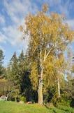 Abedul grande viejo del tiempo del otoño en granja Imagen de archivo libre de regalías