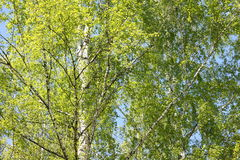 Abedul hermoso con las hojas del verde en primavera Foto de archivo