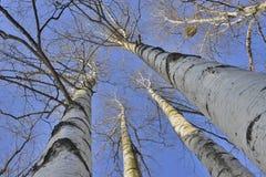 Abedul hermoso contra el cielo azul Foto de archivo