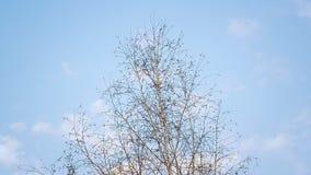 Abedul hermoso de la primavera que se sacude en la brisa contra un cielo azul almacen de video