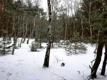 Abedul hermoso del bosque del invierno, arbustos nevados Fotografía de archivo libre de regalías
