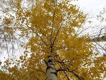 Abedul hermoso del otoño Fotografía de archivo libre de regalías