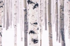 Abedul hermoso en bosque del invierno Imágenes de archivo libres de regalías