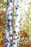 Abedul hermoso en otoño Foto de archivo