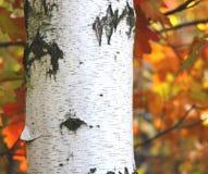 Abedul hermoso en otoño Fotografía de archivo libre de regalías