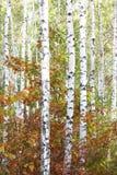 Abedul hermoso en otoño Fotografía de archivo