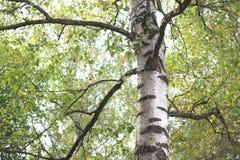 Abedul hermoso en otoño temprano Fotos de archivo