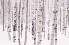Abedul hermoso en parque del invierno Imagen de archivo libre de regalías