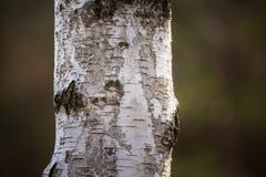 Abedul hermoso en un hábitat natural Foto de archivo libre de regalías