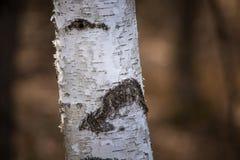 Abedul hermoso en un hábitat natural Fotografía de archivo libre de regalías