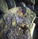 Abedul heroico solo en una roca Fotografía de archivo libre de regalías